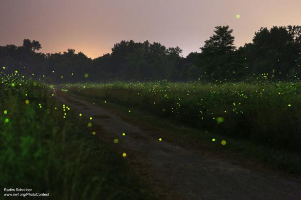 Fireflies-620x413